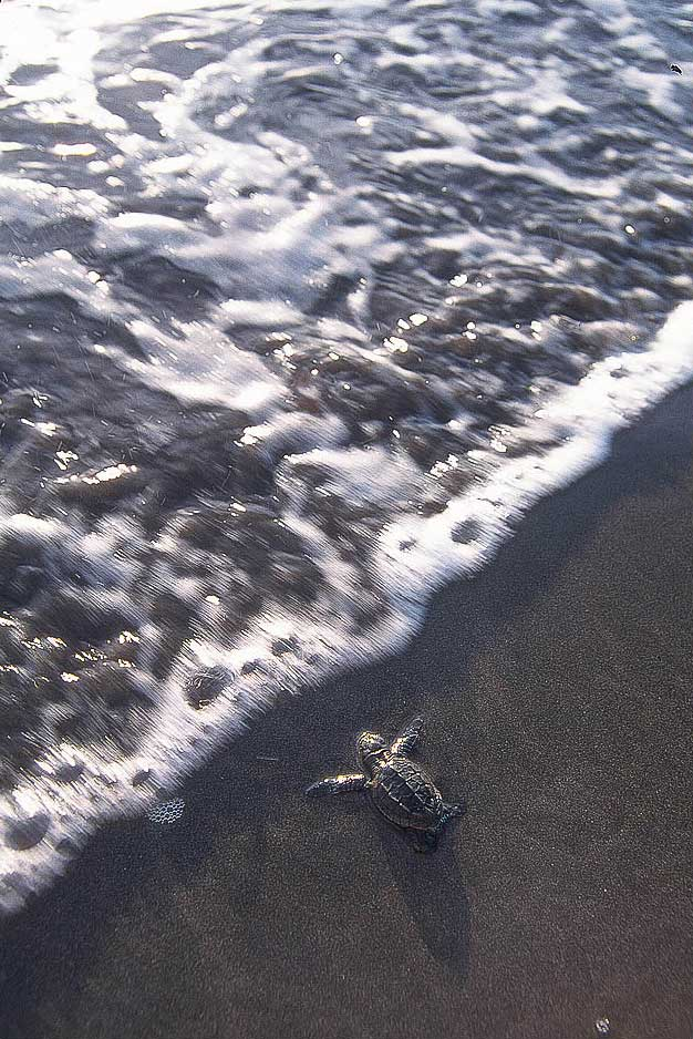 Olive-Ridley-baby-turtles-surf-Costa Rica-Ostional-Ron Levy Photography