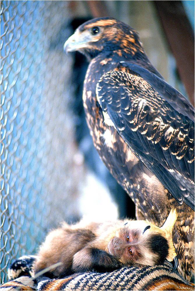 Vervet-monkey-sleeping-hawk-eagle-rehabilitation-Banos-ecuador-Ron Levy Photography