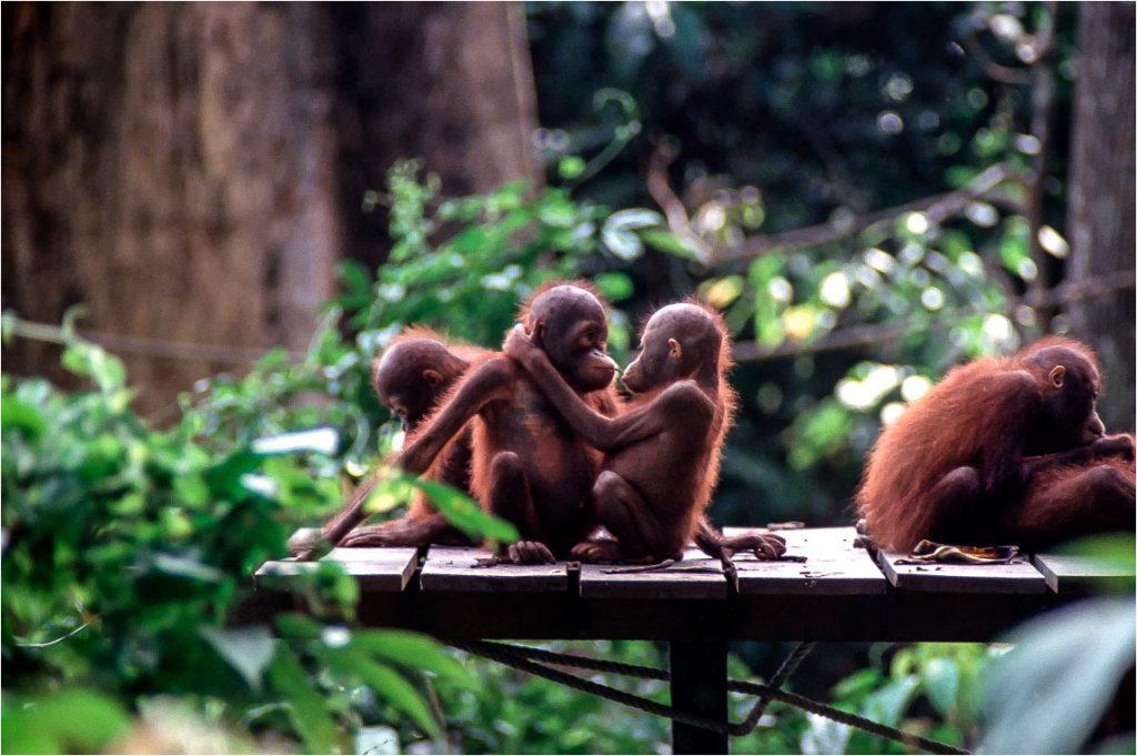 orangutans-kissing-Sepilok-Borneo-sanctuary-Ron Levy Photography