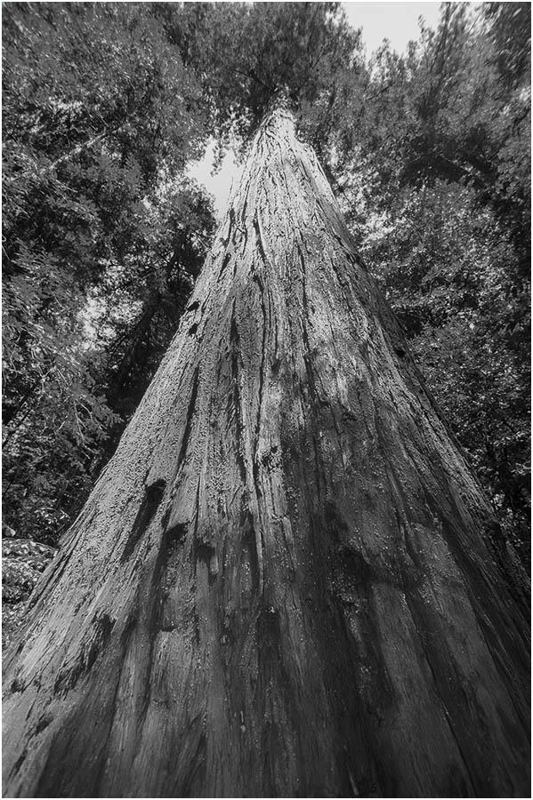 redwood-BW
