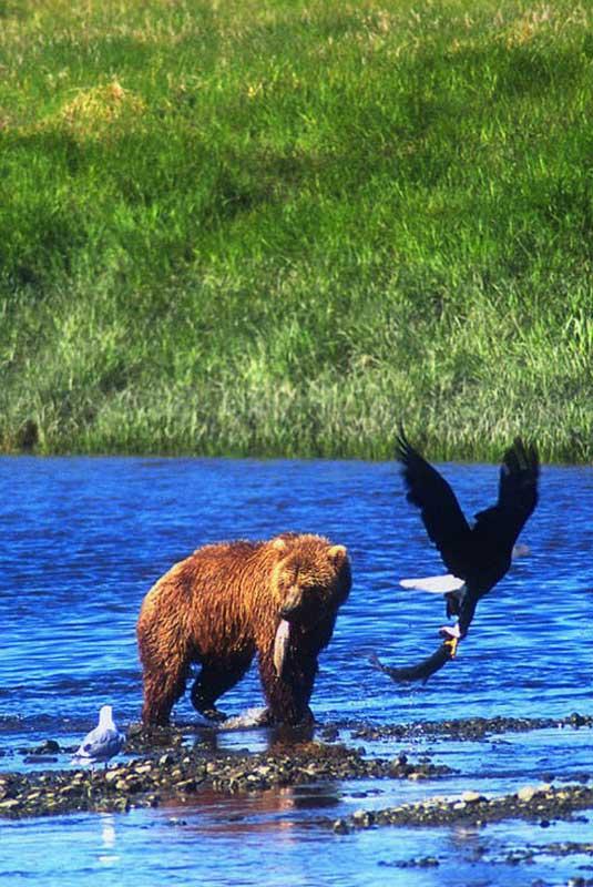 bear-eagle-fishing-salmon-together-McNeil River-Alaska-Ron Levy Photography