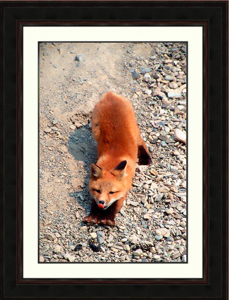 Red fox-stretching-yawning-morning-Denali National Park-Alaska-Ron Levy Photography