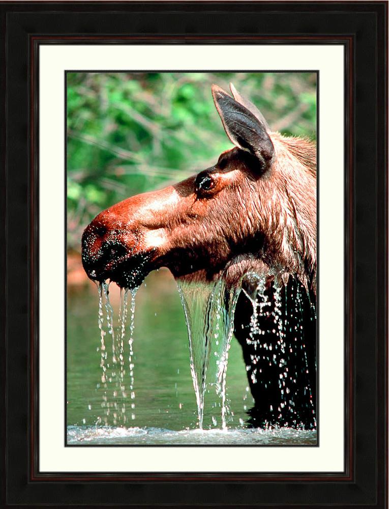 Moose-dripping-thirsty-Kenai-River-Alaska-Ron Levy Photography