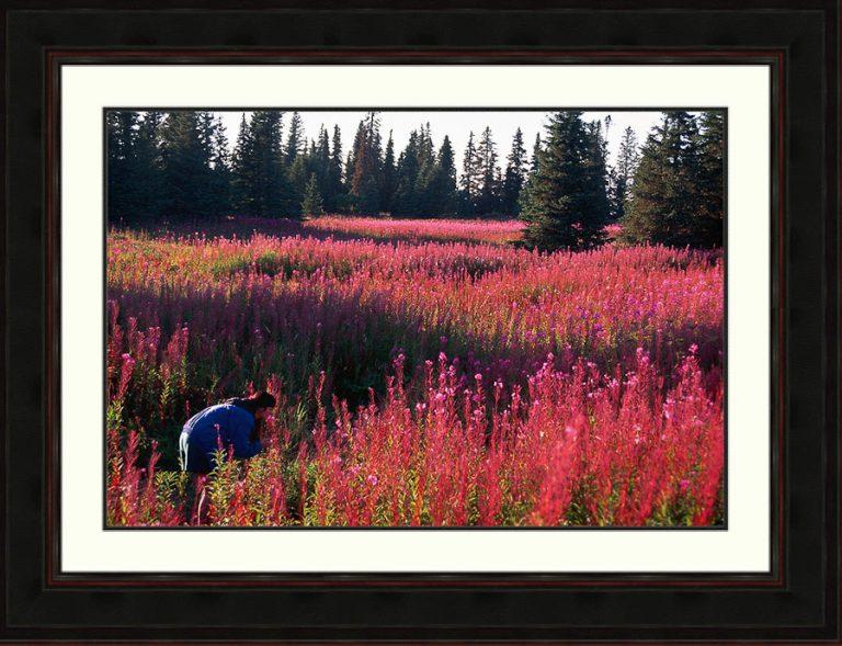 fireweed-meadow-flow-magenta-purple-woman-hiker-Kenai Peninsula-Alaska-Ron Levy Photography
