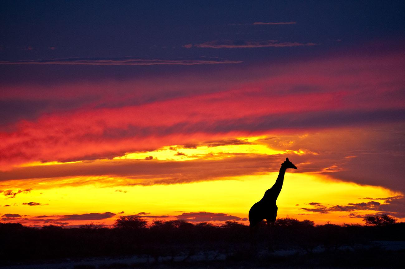 giraffe-sunset-Namibia