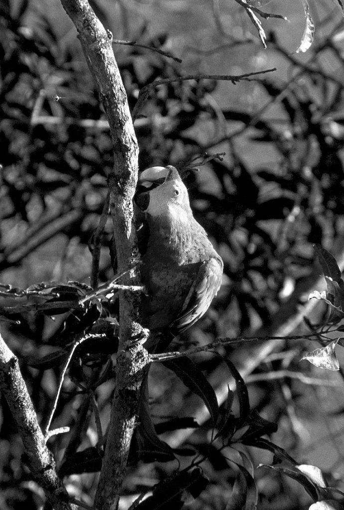 macawtree-copan-BW