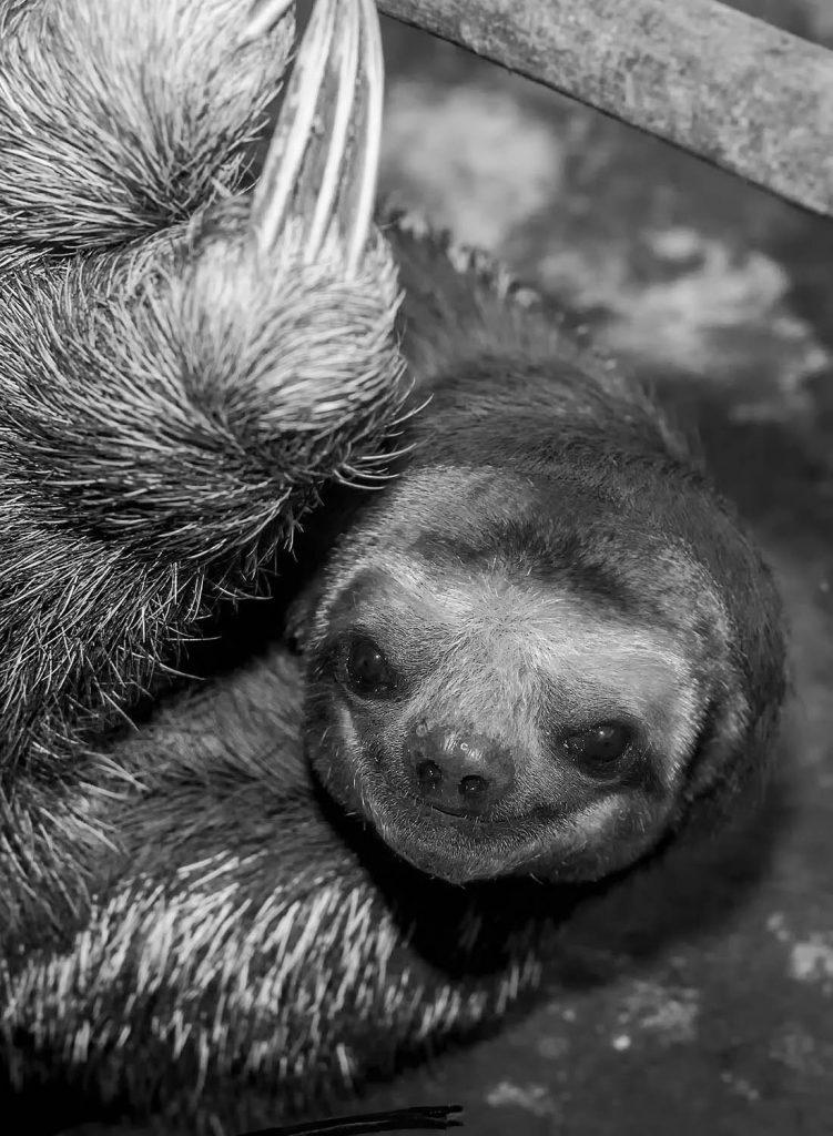 sloth-V-BW