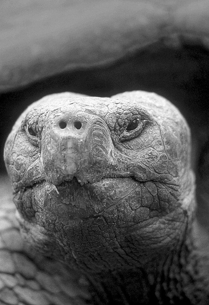 tortoise-Galapagos-RonLevy