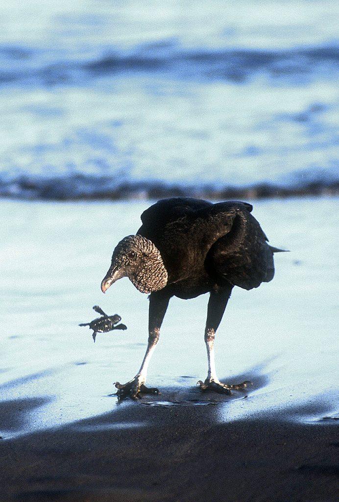 vulturedroppingturtle