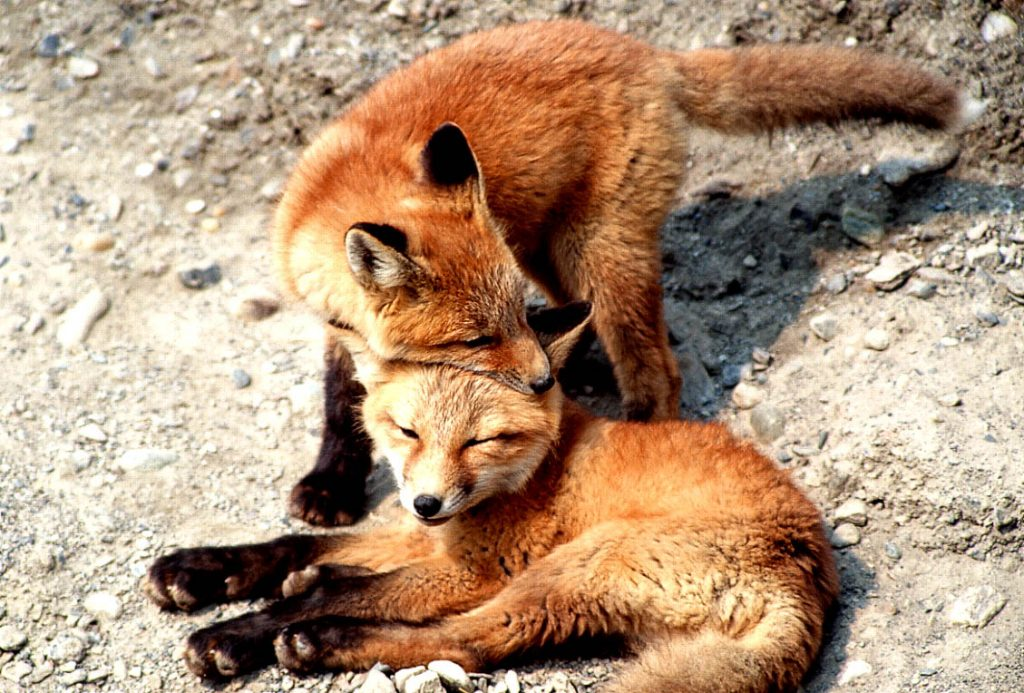 fox-pups-nuzzling-Denali National Park-Ron Levy Photography