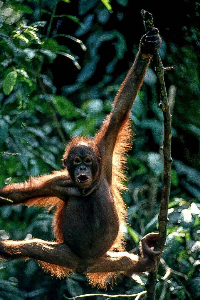 orangutan-borneo-backlit-RonLevy-1