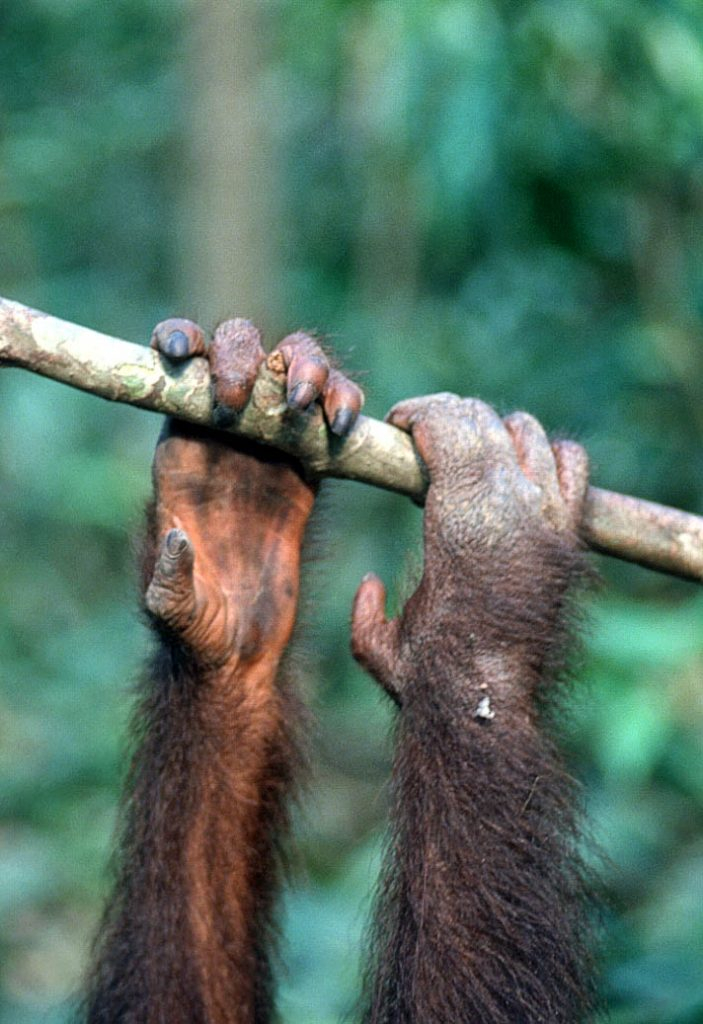 orang-hanging-on-RonLevy