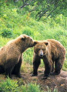 Brown bears-nuzzling-secrets-McNeil River-Alaska-Ron Levy Photography
