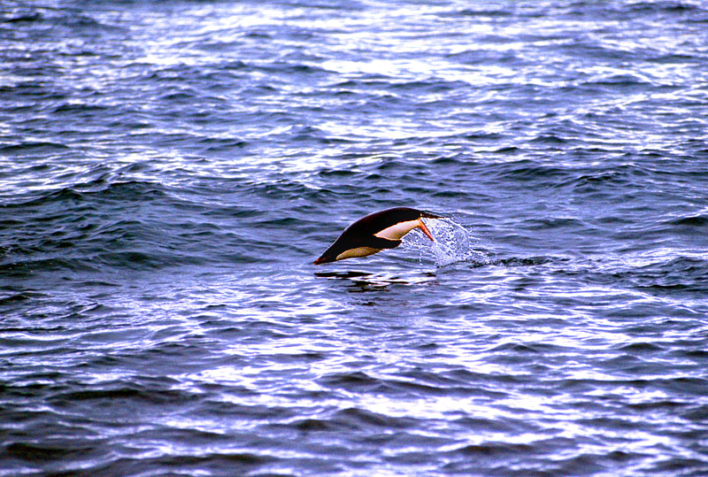 penguin-air-swim-RonLevy