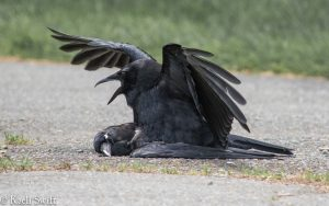 crow-mating-dead-crow
