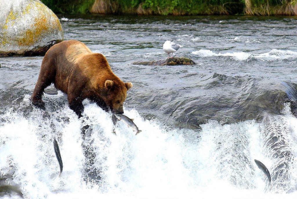Brown bear & salmon, Brooks Falls, Alaska