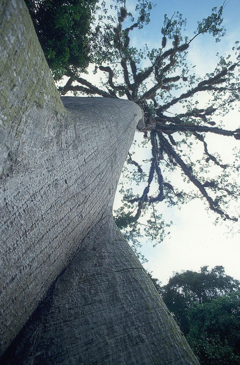 Cieba-tree_one of the oldest in the world-Tikal-Guatemala-Ron Levy Photography