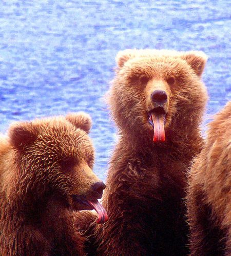 brown-bears-tongues-opinion-Alaska-Ron Levy Photography